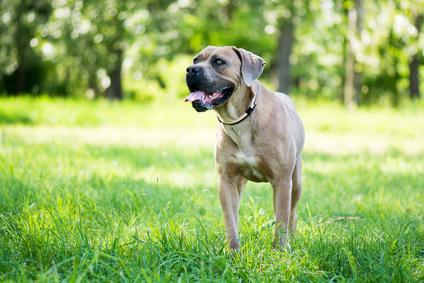 Wesen des Cane Corso