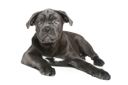 wie gro wird ein cane corso ausgewachsen gr e gewicht. Black Bedroom Furniture Sets. Home Design Ideas